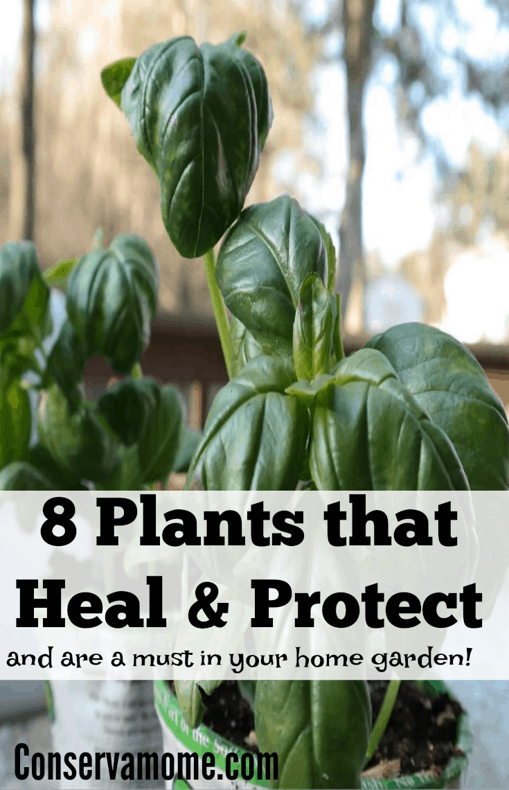 Sometimes Health and protection are in your backyard. Check out 8 Plants that Heal & Protect and are a must in your home!