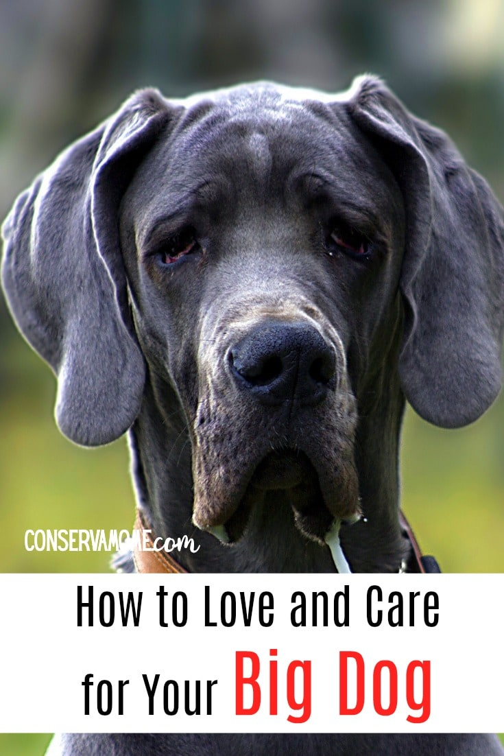 Dogs are such an amazing addition to your home. But not all dogs are created equal. Larger dogs have special needs that one must keep in mind. Check out How to Love and Care for Your Big Dog .