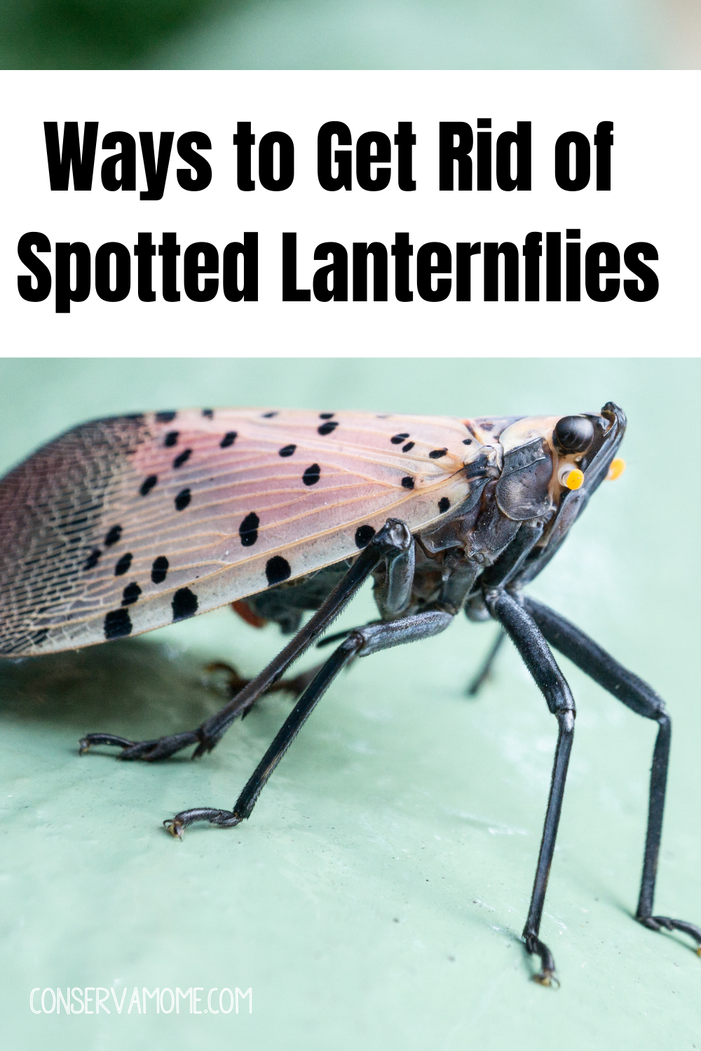 Ways to Get Rid of Spotted Lanternflies